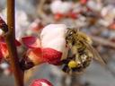 honey-bee (apis mellifera)