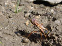 digger wasp (sceliphron curvatum) collecting clay