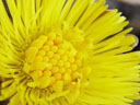 coltsfoot flower (tussilago farfara) closeup
