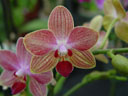 phalaeonpsis hybrid (phalaenopsis sp.)