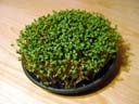 cress time-lapse video