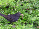 blackbird (turdus merula) collecting dinner