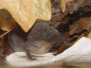 the highlight: a southern water shrew (neomys anomalus)