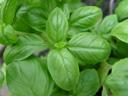 basil (ocimum sp.)