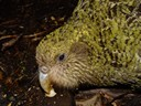poura, a one-year-old kakapo on codfish island