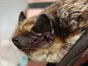 parti-coloured bat (vespertilio murinus) - portrait
