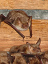who you looking at? - greater mouse-eared bats (myotis myotis)
