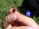 holding a bumblebee (bombus sp.)
