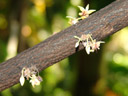 cacao flower (theobroma cacao)