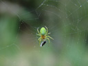 cucumber green spider (araniella cucurbitina), with prey