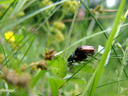 garden chafers (phyllopertha horticola) mating