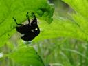 weevils (liparus glabrirostris) mating