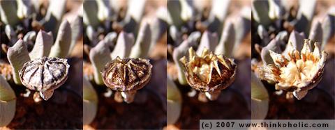 cheiridopsis sp. seed capsule
