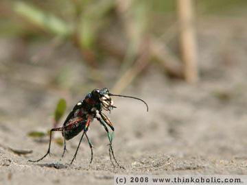 nothern dune tiger beetle - kupferbrauner sandlaufkäfer - cicindela hybrida