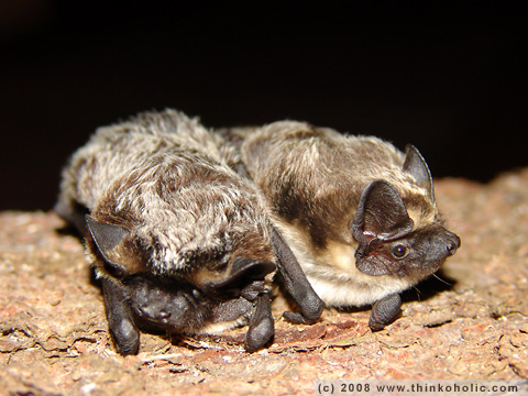 two particoloured bats (vespertilio murinus, zweifarbfledermaus)