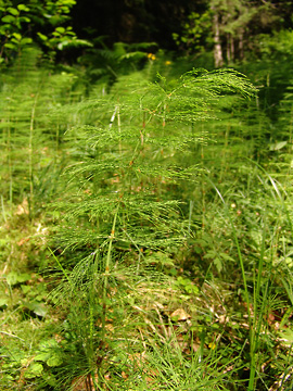 wood-horsetail (equisetum sylvaticum)