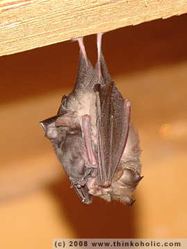 lesser horseshoe bat (rhinolophus hipposideros), with pup | kleine hufeisennase (rhinolophus hipposideros), mit jungtier