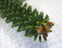 spanish fir (abies pinsapo), leaves radially all around the shoots, very stiff, with a blue-green hue on the upper side