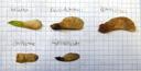 fruits of acer negundo, acer pseudoplatanus, acer platanoides, acer campestre and acer tataricum