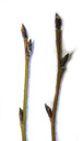 green alder (alnus viridis): twigs with alternate buds