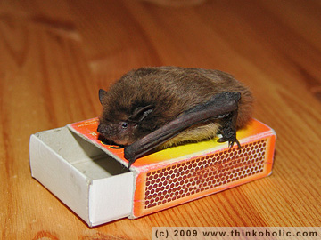 nathusius' pipistrelle (pipistrellus nathusii) and matchbox for measure