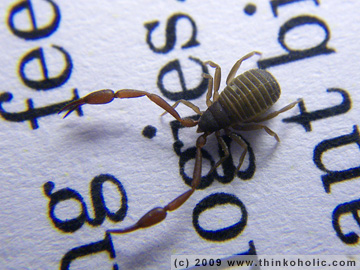 book scorpion (chelifer cancroides)
