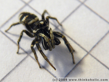 male zebra spider (salticus scenicus)