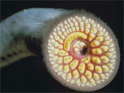sea lamprey (petromyzon marinus)