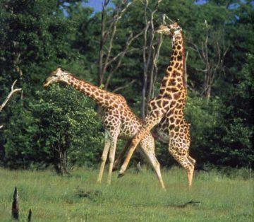 giraffes mating