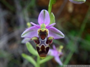 woodcock orchid (ophrys scolopax) - a bee orchid species