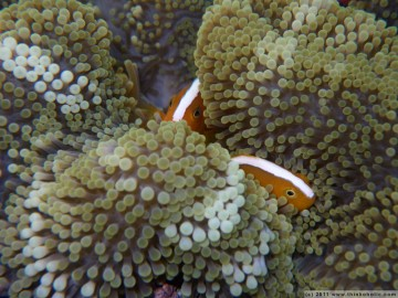 orange skunk clownfish (amphiprion sandaracinos), trying to hide in their anemone in the midst of a beautiful, colourful reefscape
