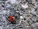 fire bug (pyrrhocoris apterus)    photo details: 2001-09-30, D-Link DSC-350. keywords: bug, beetle, chafer, fire, red, insect