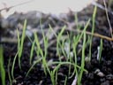 young grass || photo details: 2001-09-28, D-Link DSC-350. keywords: grass, seedlings, young