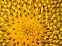 sunflower closeup (helianthus annuus) || photo details: 2001-09-04, D-Link DSC-350. keywords: sunflower, yellow, helianthus annuus