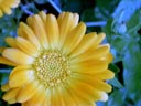 pot marigold (calendula officinalis) || photo details: 2001-10-06, D-Link DSC-350. keywords: pot marigold, calendula officinalis, yellow