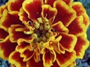 tagetes (tagetes patula) || photo details: 2002-11-01, D-Link DSC-350. keywords: tagetes erecta, asteraceae, aster, yellow, red