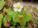 woodstrawberry (fragaria vesca) || photo details: 2002-10-31, Sony Cybershot DSC-F505. keywords: woodstrawberry, fragaria vesca, rosaceae, white