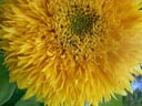 sunflower closeup (helianthus annuus) || photo details: 2002-11-01, D-Link DSC-350. keywords: sunflower closeup, helianthus annuus, yellow