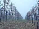 foggy vineyard || photo details: 2002-01-28, D-Link DSC-350. keywords: vineyard, foggy