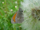 small heath butterfly (coenonympha pamphilus). 2003-05-01, Sony Cybershot DSC-F505. keywords: butterfly, insects