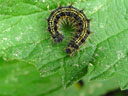 small tortoiseshell-caterpillar (aglais urticae)