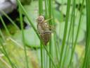 empty dragonfly-skin. 2003-06-04, Sony Cybershot DSC-F505.