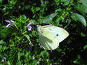 cabbage white butterfly (pieris brassicae)