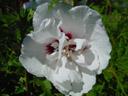 hibiscus-flower (hibiscus syriacus)