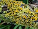 maritime sunburst lichen (xanthoria parietina). 2003-07-25, Sony Cybershot DSC-F505.