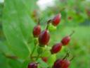 saint-john's-wort fruit (hypericum inodorum)
