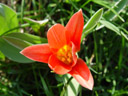 tulip (tulipa sp.). 2004-03-21, Sony Cybershot DSC-F717.