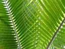 palm leafs. 2004-04-13, Sony Cybershot DSC-F717.