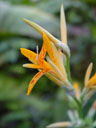 some sort of strelitzia (strelitzia sp.)?