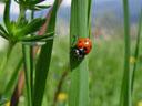 ladybug (coccinella septempunctata)